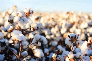 Cotton_Bolls_7