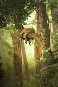 MG_3518-Sleeping-Leopard-SudhirShivaram-Singapore