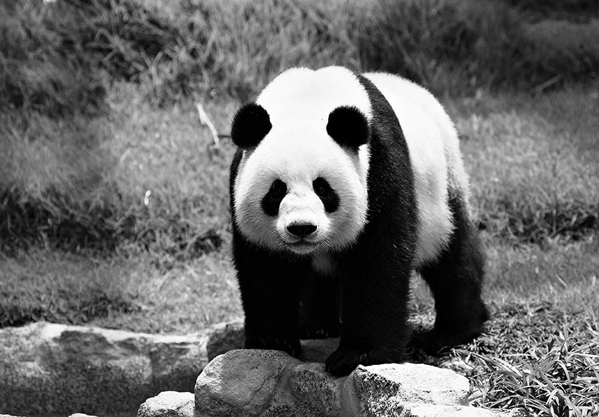 abb7fb76e أشارت دراسة أعدَّتها جامعة كاليفورنيا إلى أن للعلامات السوداء والبيضاء في  جسم دب الباندا وظيفتين، هما التمويه والتواصل. فاللون الأبيض في الوجه والعنق  والبطن ...